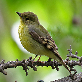 Green-backed Flycatcher