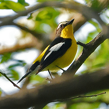 Korean Flycatcher
