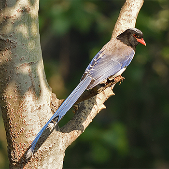 Red-billed Blue-magpie